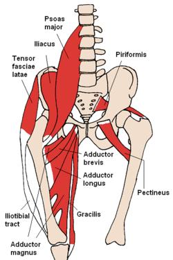Funcionamiento del Músculo aductor largo, para deportistas